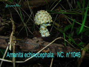 Amanita echinocephala