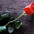 une_belle_rose