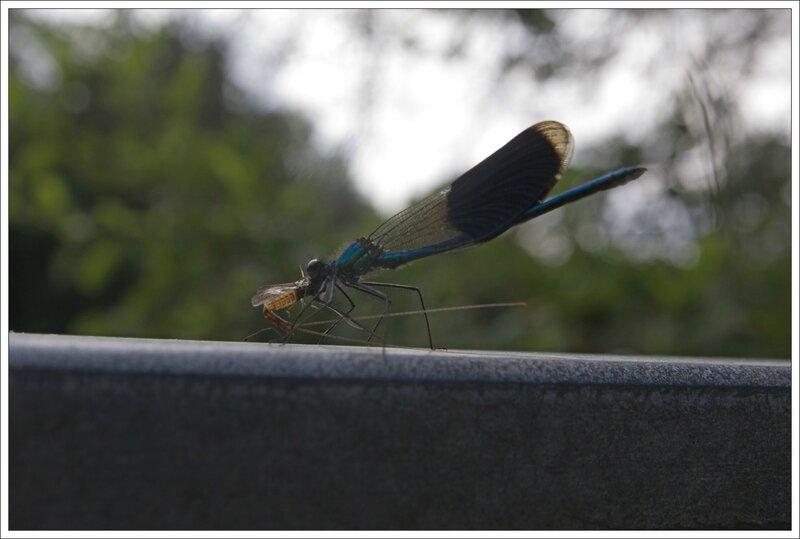 vilel rocade libell calopterix predation ephemere 3 110814
