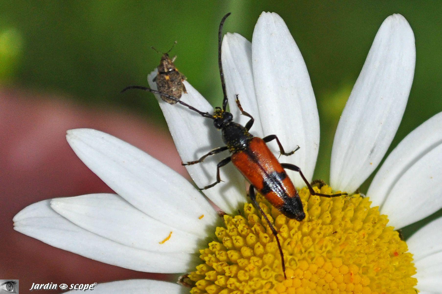 Lepture bifasciée • tenurella bifasciata • Cerambycidae