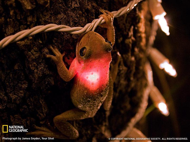 cuban_tree_frog_081709_sw