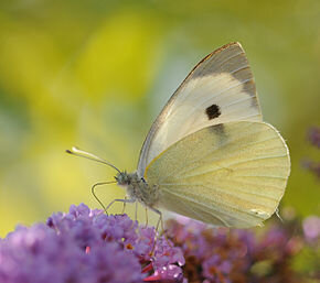 290px-ComputerHotline_-_Pieris_brassicae_(by)