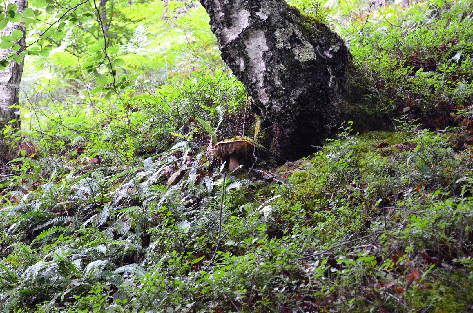 Vieux cèpe d'été au pied d'un bouleau.
