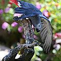 Aves - perroquet jaco - gris du gabon - psittacus erithacus