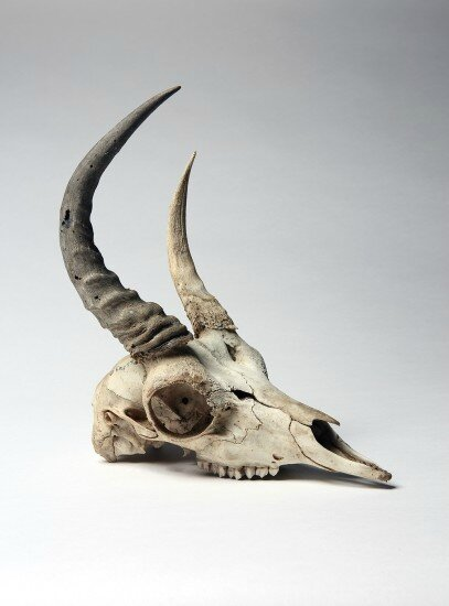 EveryObjectTellsAStory_Gazelle_Skull_079-407x550