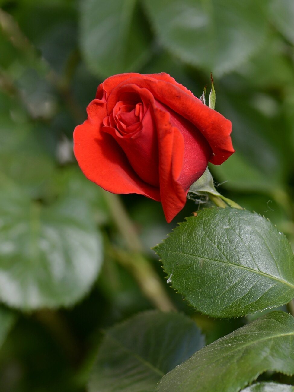 Rose rouge 3