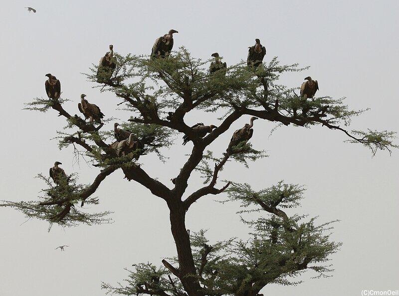 vautours2