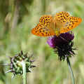 Le Tabac d'Espagne • Argynnis paphia • Nymphalidae