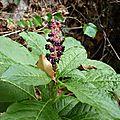 Raisin d'Amérique (Phytolacca americana), jardin des herbes Folles