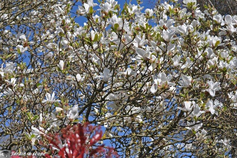 Magnolia en fleurs