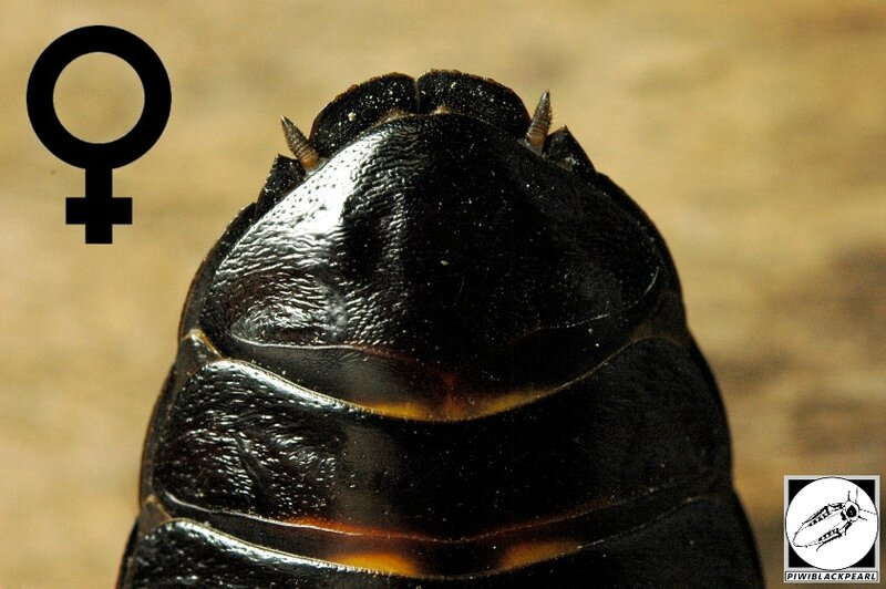Gromphadorhina grandidieri abdomen femelle