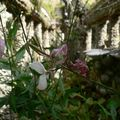 Jardin rosa mir - lyon