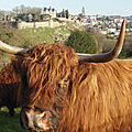 bressuire-the scot: with a moo-moo here for our highland games