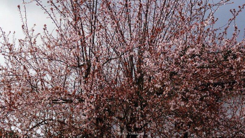Prunus 0503163