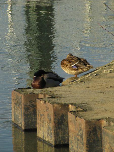 canards à la sieste