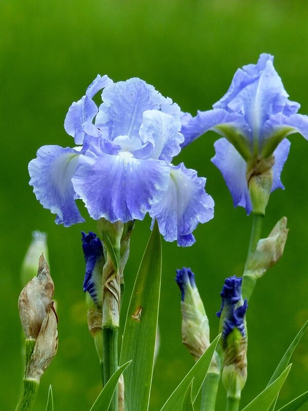 iris victoria falls (6)