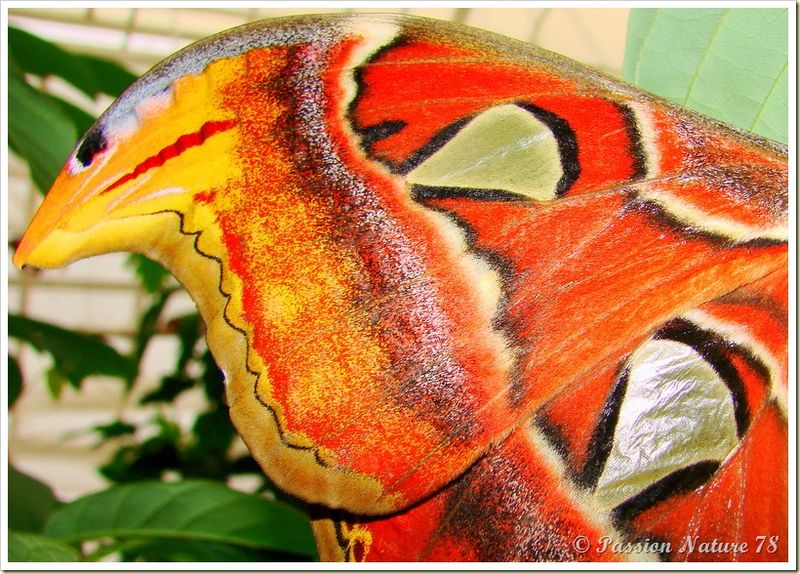 Papillon Attacus Atlas ou Bombyx Atlas (4)