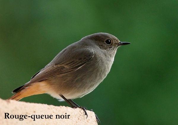 Quel est donc cet oiseau photos d 39 oiseaux - Jardin des oiseaux petit quevilly ...