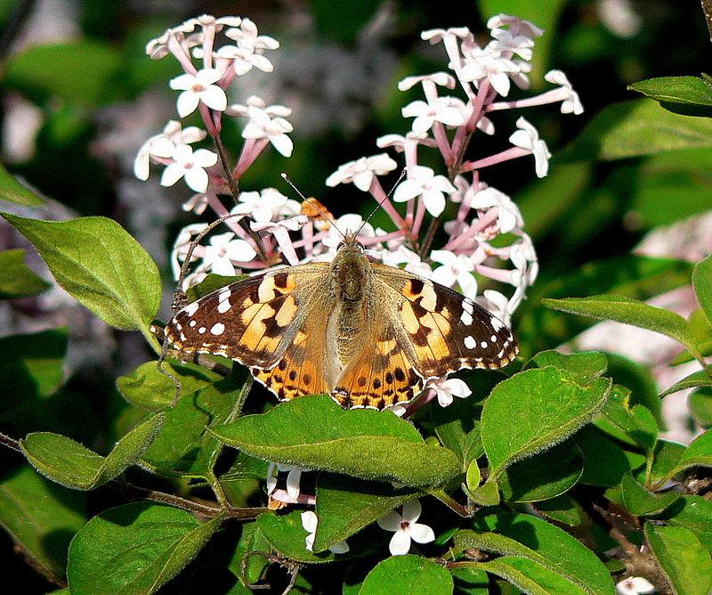 papillon : belle-dame