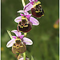 Ophrys bourdon : ophrys fuciflora