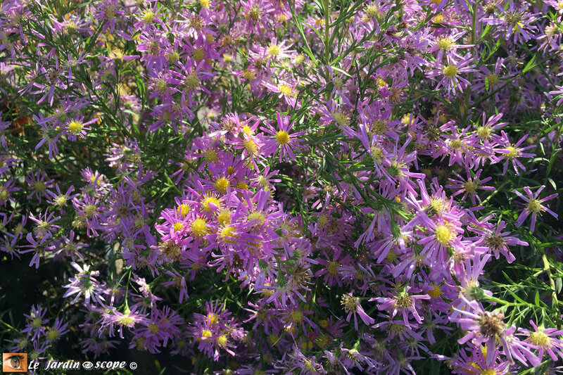 Aster-Pink-Star