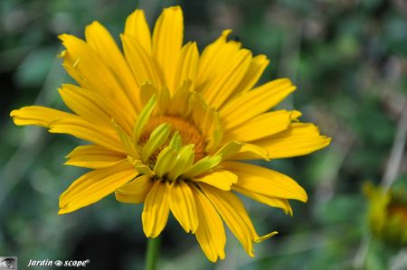 Heliopsis-helianthoides