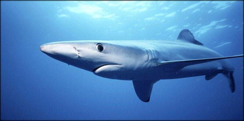 7571595_pourquoi_il_ne_faut_pas_avoir_peur_des_requins_en_mediterranee_001