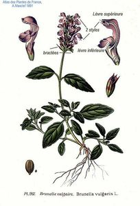 Brunella_vulgaris