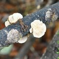 Schizophyllum commune (3)