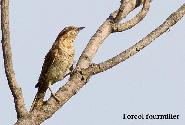 torcol