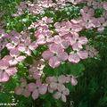 Cornus kousa: un arbuste beau en toutes saisons…!