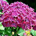 Hortensias du jardin