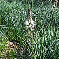 Asphodèle blanc, asphodelus albus...