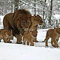 lion neige hiver