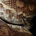 Epicrates maurus (femelle adulte)