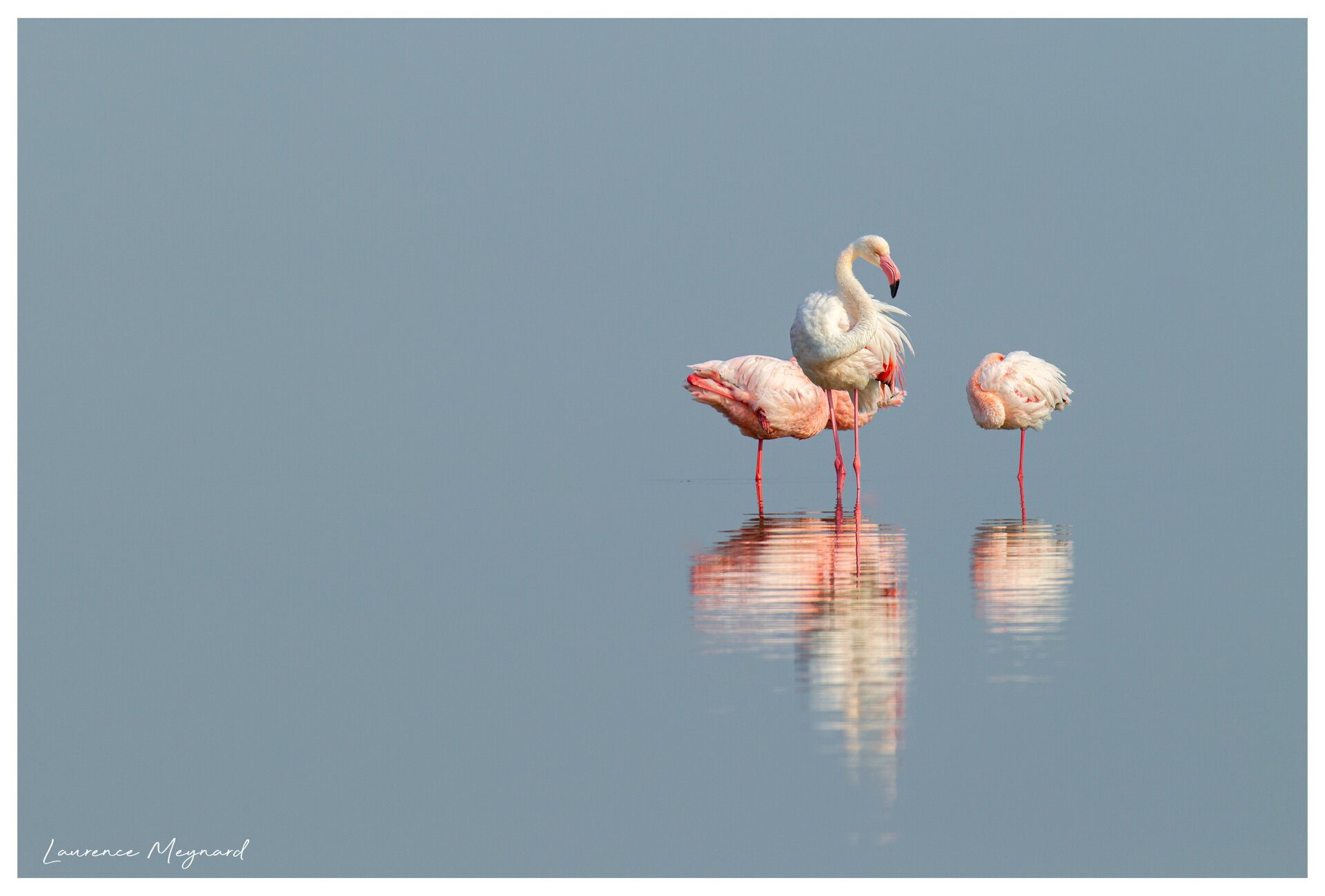 Flamants dans la brume