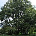 Chêne à feuilles de Myrsine - Quercus myrsinifolia - Fagaceae