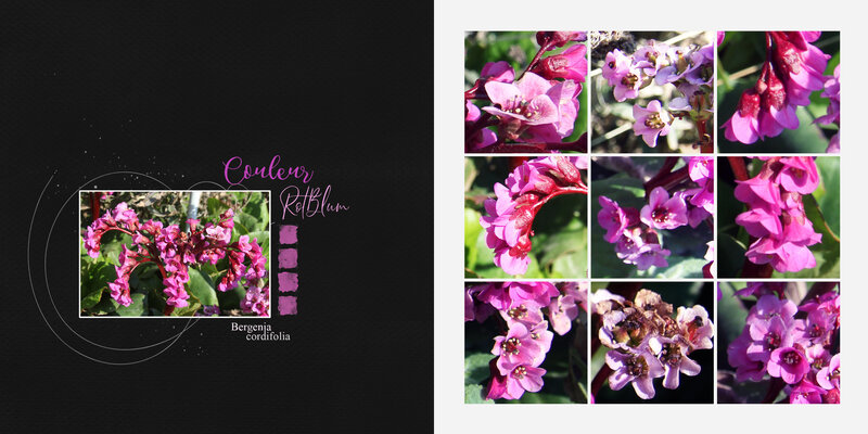 Faby-couleurs_Bergenia cordifolia------------