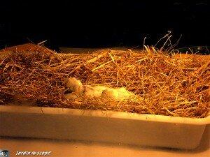 Cigogneaux de 5 jours en couveuse