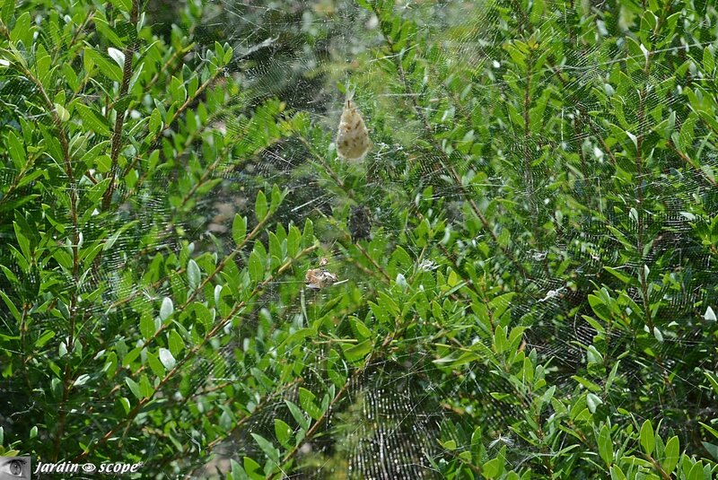 Toile de Cyrtophora citricola