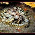 Mollusque , Porcelaine tigrée