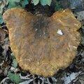 Tapinella atrotomentosa (1)